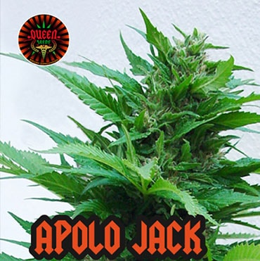 graine de cannabis apolo jack