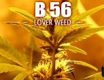 graine de cannabis - b56