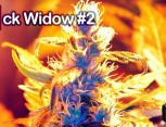 graine de cannabis - jack widow #2