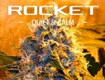 graine de cannabis - rocket