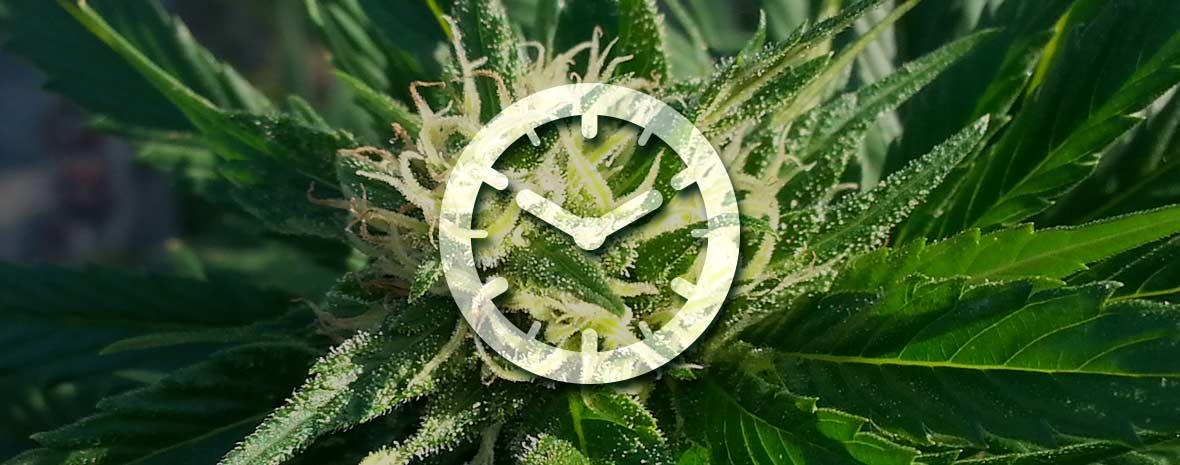 Cultiver des graines de cannabis autofloraison for Cultiver cannabis exterieur