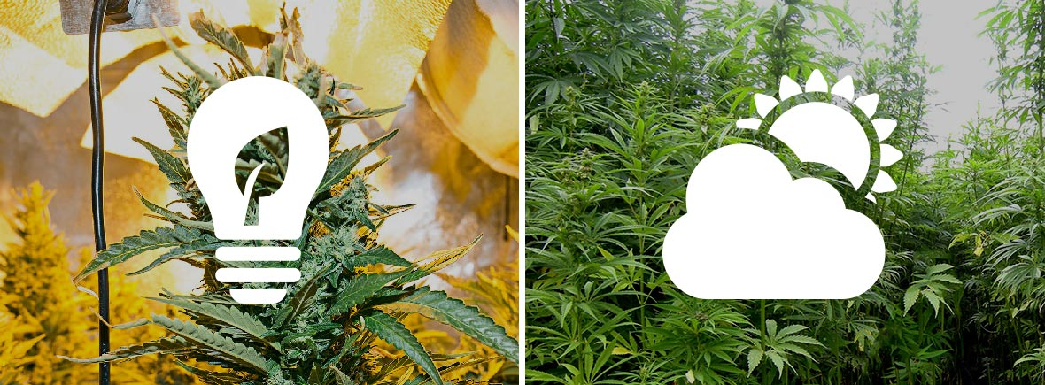 Comment faire pousser du cannabis en interieur en terre for Planter du cannabis en interieur