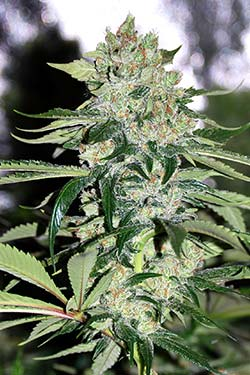 Apolo Jack de Queen Seeds