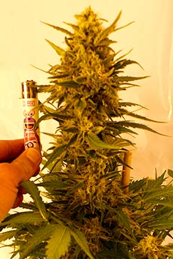 Photo Bazooka de Queen Seeds