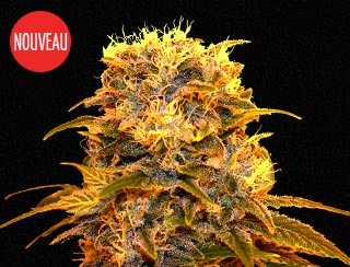 Graines de cannabis - Queen Cheeze - Queen Seeds