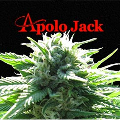 Apolo Jack Queen Seeds