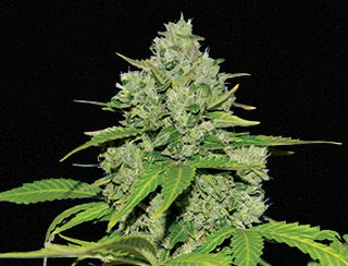 Kalach Auto _ Queen Seeds