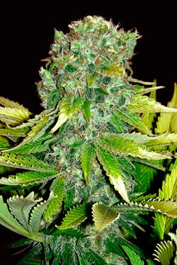 Queen Cheeze Auto - Queen Seeds