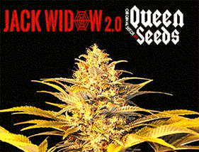 Jack Widow 2.0 Queen Seeds