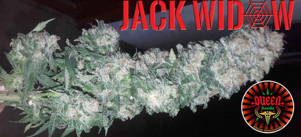 jour 51 flo Jack Widow