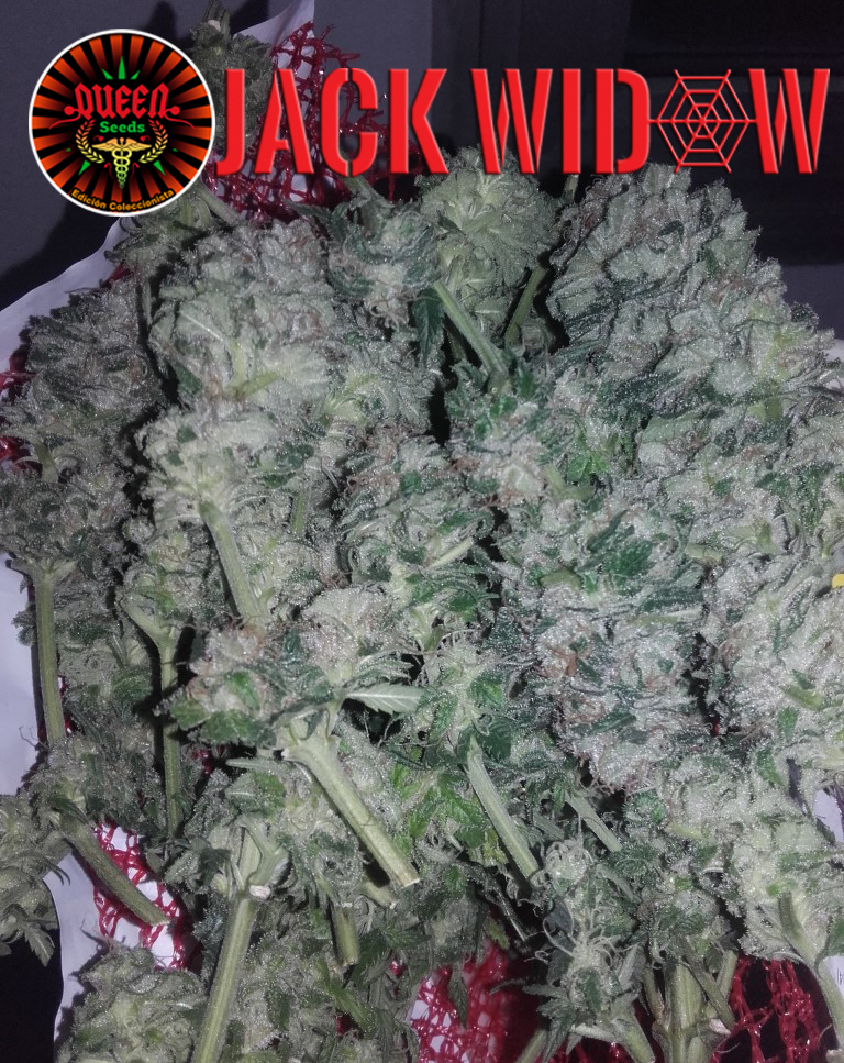jour 42 flo Jack Widow 2