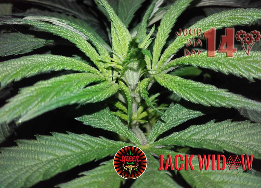 jour 14 flo Jack Widow 2