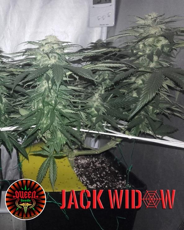 jour 50 flo Jack Widow