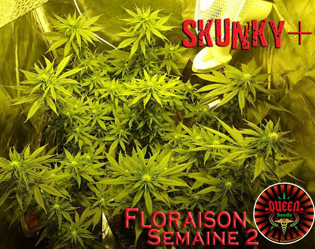 jour 11 flo skunky