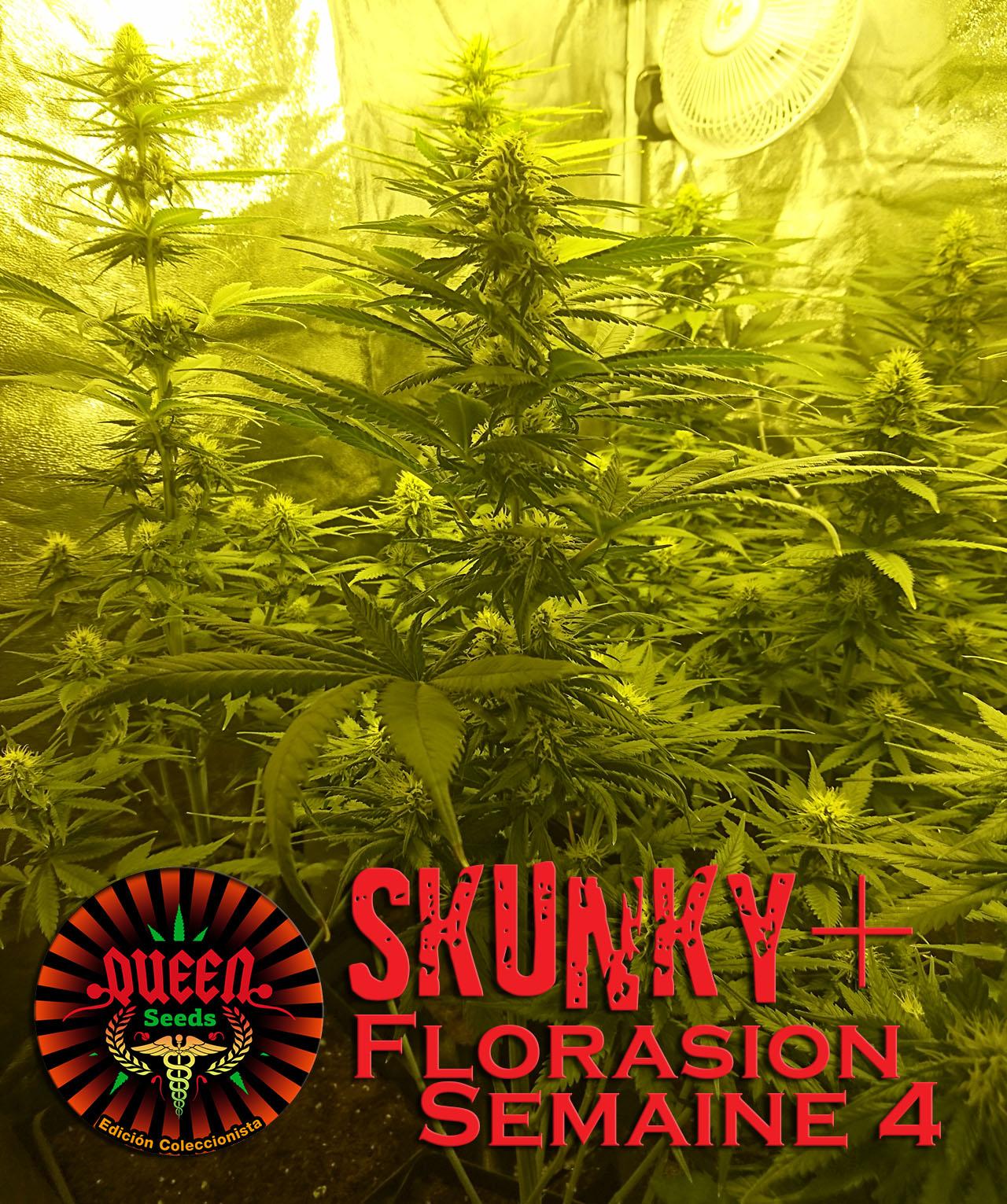 jour 30 flo skunky