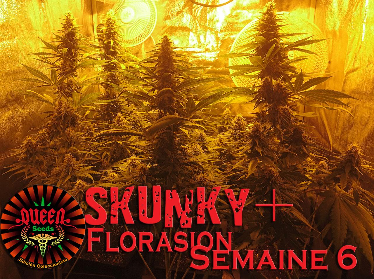 jour 47 flo skunky